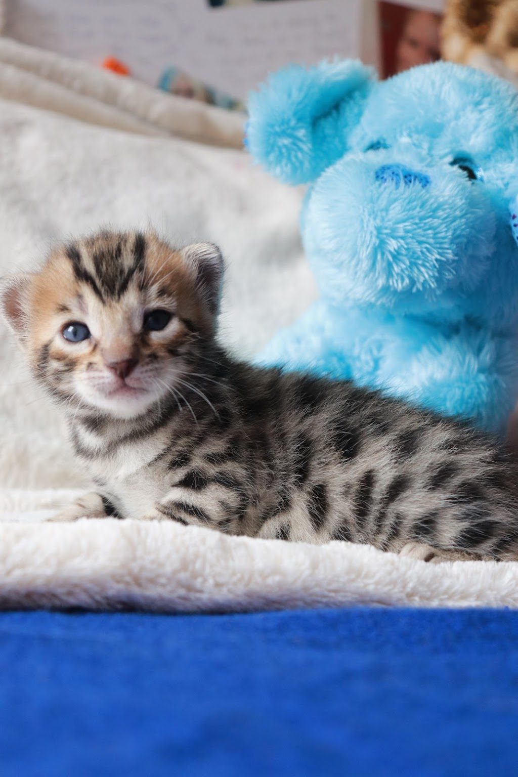Catzilla Cattery | pet store | Aries Pl, Burnaby, BC V3J 7E8, Canada | 2363334389 OR +1 236-333-4389