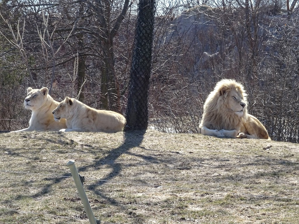 Lion Exhibit | zoo | 2000 Meadowvale Rd, Scarborough, ON M1B 5K7, Canada | 4163925929 OR +1 416-392-5929