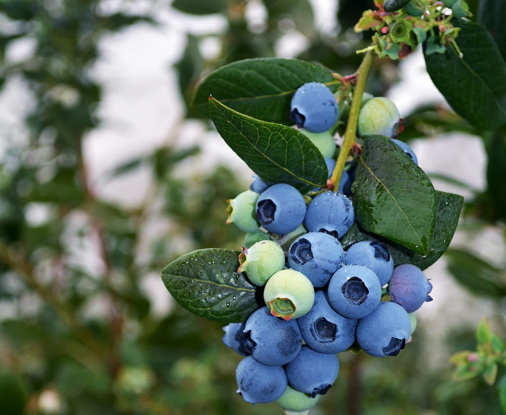 Pleasant Berry Blueberry Farm | store | 445 Ellis Ave, Brantford, ON N3T 5L5, Canada | 5194842633 OR +1 519-484-2633