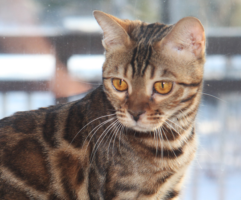 Iconic Bengals cat breeder | veterinary care | 9896 Road 38, Godfrey, ON K0H 1T0, Canada | 4167126154 OR +1 416-712-6154