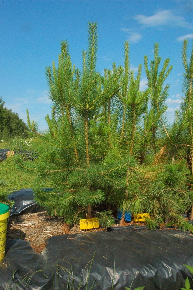 Sherwoods Forests Tree Farm   store   50042 Range Rd 31, Warburg, AB T0C 2T0, Canada   7808482548 OR +1 780-848-2548
