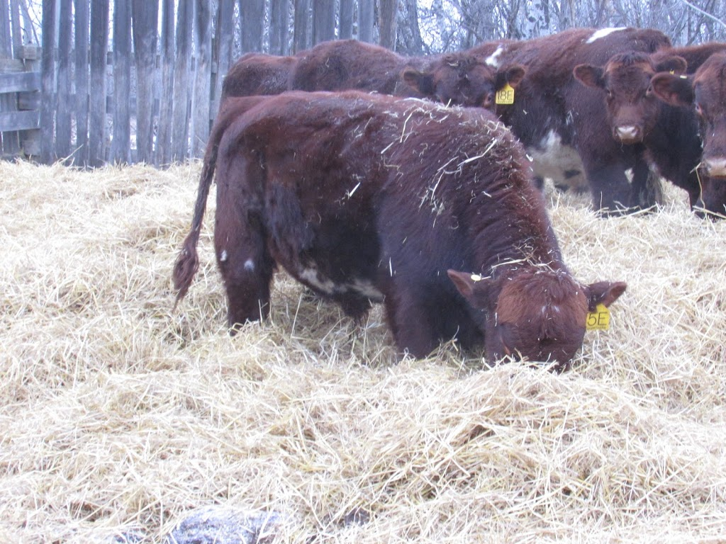 Prospect Hill Shorthorns | point of interest | Township Rd 430, Meeting Creek, AB T0B 2Z0, Canada | 7808772444 OR +1 780-877-2444