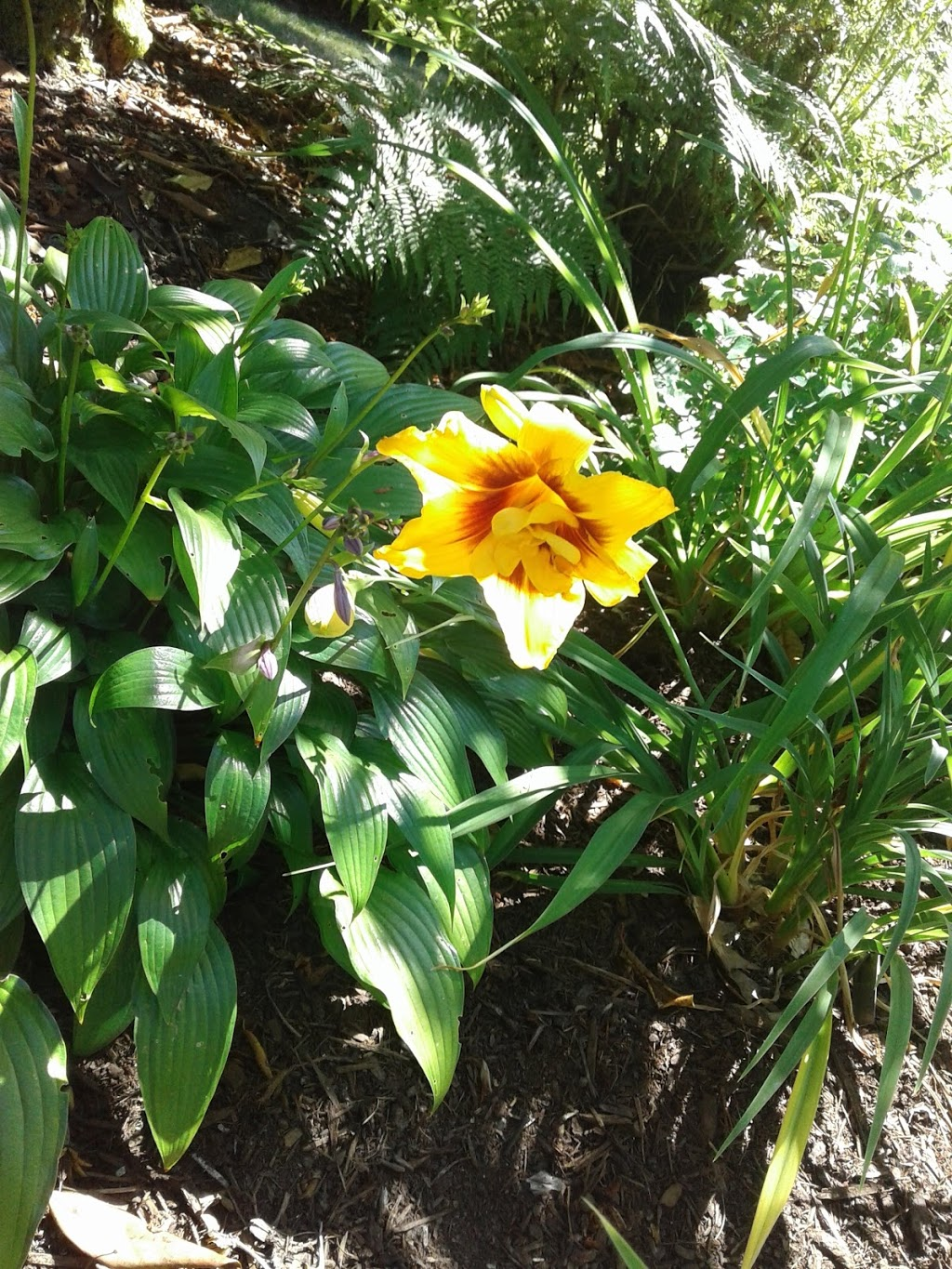 Eriksons Daylily Gardens   store   24642 51 Ave, Langley City, BC V2Z 1H9, Canada   6048565758 OR +1 604-856-5758