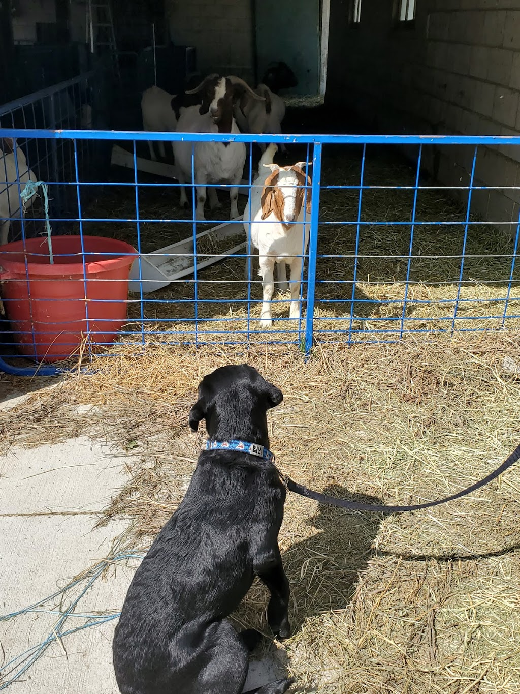 CLEARVIEW FARMS BOER MEAT GOATS   point of interest   6564 Olde Dr, Appin, ON N0L 1A0, Canada   5197771281 OR +1 519-777-1281